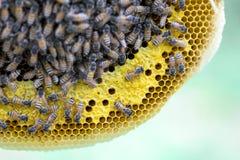 Opinión del primer las abejas de trabajo en el panal, patte de las células de la miel Fotos de archivo libres de regalías