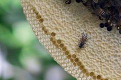 Opinión del primer las abejas de trabajo en el panal, patte de las células de la miel Fotografía de archivo libre de regalías