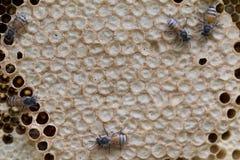 Opinión del primer las abejas de trabajo en el panal, patte de las células de la miel Imagenes de archivo