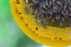 Opinión del primer las abejas de trabajo en el panal, patte de las células de la miel Fotos de archivo
