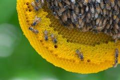 Opinión del primer las abejas de trabajo en el panal, patte de las células de la miel Foto de archivo