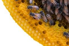 Opinión del primer las abejas de trabajo en el panal, patte de las células de la miel Foto de archivo libre de regalías