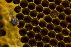 Opinión del primer las abejas de trabajo en el panal, patte de las células de la miel Imagen de archivo libre de regalías