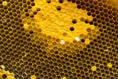 Opinión del primer las abejas de trabajo en el panal, patte de las células de la miel Fotografía de archivo