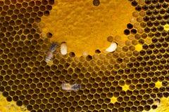 Opinión del primer las abejas de trabajo en el panal, patte de las células de la miel Imagen de archivo