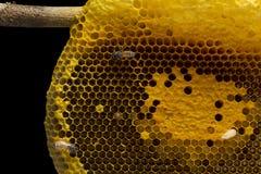 Opinión del primer las abejas de trabajo en el panal, patte de las células de la miel Imágenes de archivo libres de regalías
