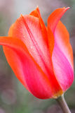 Opinión del primer sobre el botón del tulipán rosado hermoso Imagen de archivo libre de regalías