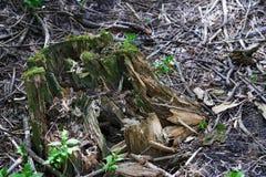 Opinión del primer sobre el tocón de árbol con el musgo verde imagen de archivo