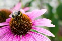 Opinión del primer sobre la abeja de la miel que recoge el néctar en la flor púrpura Imagen de archivo libre de regalías