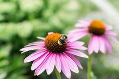 Opinión del primer sobre la abeja de la miel que recoge el néctar en la flor púrpura Fotografía de archivo