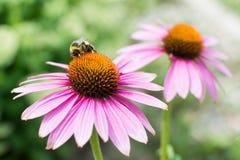 Opinión del primer sobre la abeja de la miel que recoge la flor púrpura Foto de archivo libre de regalías