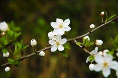 Opinión del primer sobre una ramita con las flores y las hojas del árbol floreciente en el jardín Foto de archivo libre de regalías