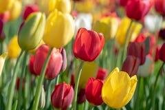 Opinión del primer tulipanes coloridos en una granja del tulipán Imágenes de archivo libres de regalías