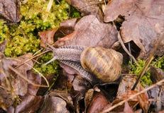 Opinión del primer un caracol con las hojas, el musgo y la hierba secos en el jardín en un día de primavera Fotografía de archivo libre de regalías
