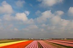 Opinión del resorte de los campos holandeses coloridos del tulipán Imágenes de archivo libres de regalías