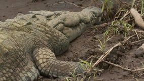 Opinión del retrato | Cocodrilo enorme del Orinoco, Colombia almacen de video