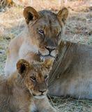 Opinión del retrato de una familia de leones - madre y Cub imagen de archivo
