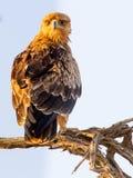 Opinión del retrato percas juveniles de Tawny Eagle en una rama en la reserva internacional de Kgalagadi Observe los ojos hermoso Foto de archivo