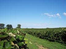 Opinión del viñedo de la uva Imagen de archivo libre de regalías