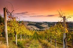 Opinión del viñedo en San Terenziano Fotos de archivo libres de regalías