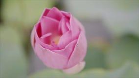 Opinión desde arriba sobre la flor de loto rosada hermosa del color en el jardín en el parque del agua El brote es cerrado y de o metrajes