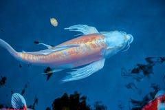 Opinión desde arriba sobre pescados anaranjados y blancos bicolores del koi fotografía de archivo