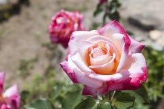Opinión detallada rosas rojas y blancas Fotos de archivo
