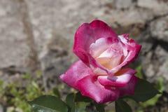 Opinión detallada rosas rojas y blancas Imagen de archivo