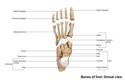 Opinión dorsal del pie stock de ilustración