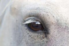 Opinión el caballo de Camargue Imágenes de archivo libres de regalías