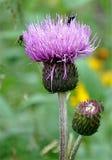Opinión el cardo púrpura floreciente foto de archivo libre de regalías