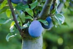 Opinión el ciruelo azul que crece en un árbol entre las hojas Imagen de archivo libre de regalías