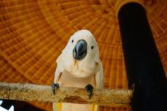 Opinión el macaw blanco del loro Fotografía de archivo