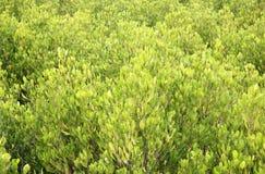 Opinión el mangle Forest From Above Imagen de archivo libre de regalías