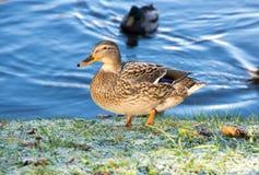 Opinión el pato del pato silvestre fotos de archivo