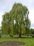 Opinión el sauce que llora llamado árbol Fotografía de archivo