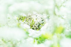 Opinión fabulosa el spiraea floreciente hermoso en el jardín w fotos de archivo libres de regalías