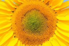Opinión floreciente del primer del girasol, fondo del helianthus Fotos de archivo libres de regalías