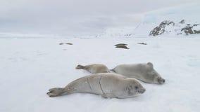 Opinión fría ártica del primer del hielo del sello de Weddell almacen de video
