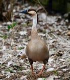 Opinión frontal un cisne del ganso fotografía de archivo