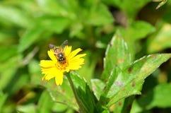 Opinión frontal una abeja que chupa el néctar de un wildflower amarillo en Krabi, Tailandia Imagenes de archivo