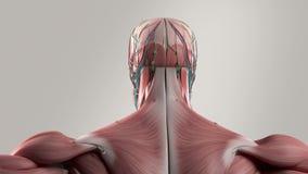 Opinión giratoria de la animación humana de la anatomía que muestra la cabeza y el torso stock de ilustración