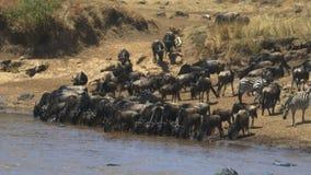 Opinión granangular una manada del ñu que bebe del río de Mara en el maasai Mara almacen de video