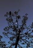 A opinión hermosa de la luna a través de ramas de árbol foto de archivo