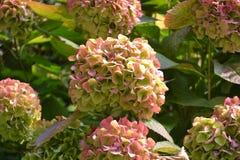 Opinión hermosa del primer para picar las cabezas de flor del hortensia en otoño fotografía de archivo