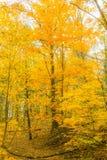 Opinión imponente de la caída de los árboles amarillos vibrantes del wow imagen de archivo