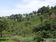 Opinión impresionante del jardín de té abajo de un lado del jardín de té Imagenes de archivo