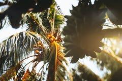 Opinión inclinable del cambio la palma de Cocos y plátanos inmaduros Fotografía de archivo libre de regalías