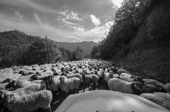 Opinión inclinada ovejas peladas en el camino rural con un coche que intenta pasar Una oveja está mirando la cámara Azerbaijan Ma foto de archivo libre de regalías