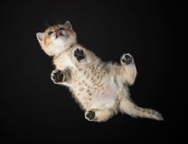 Opinión inferior el gatito mensual británicos Shorthair Color: Foto de archivo